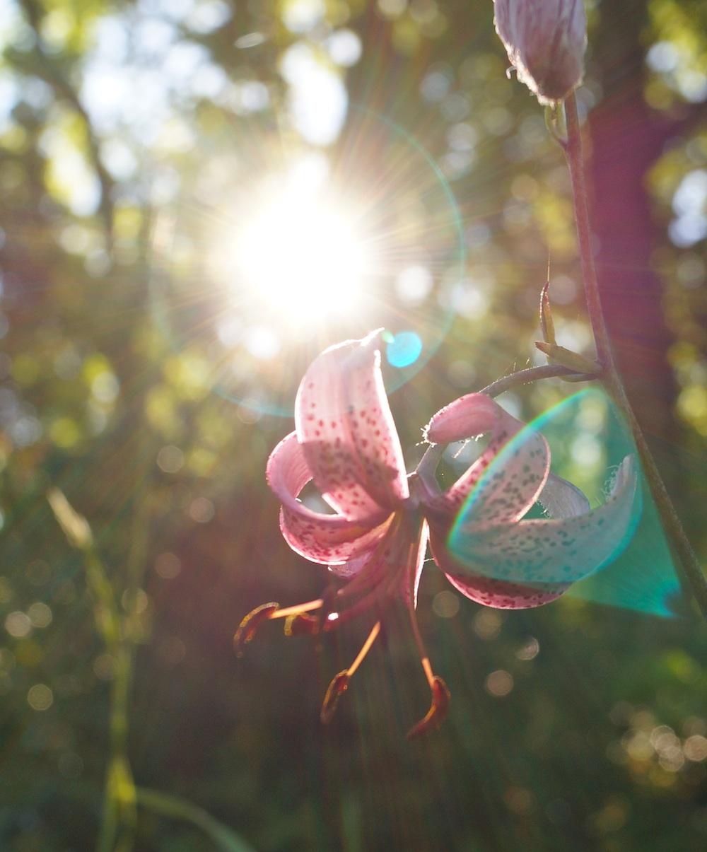 Lilie im Gegenlicht klein