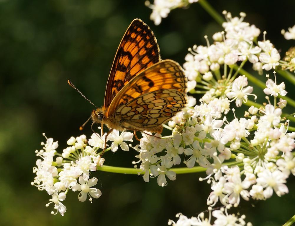 Schmetterling Dolde klein