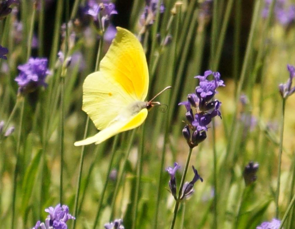 Schmetterling1klein