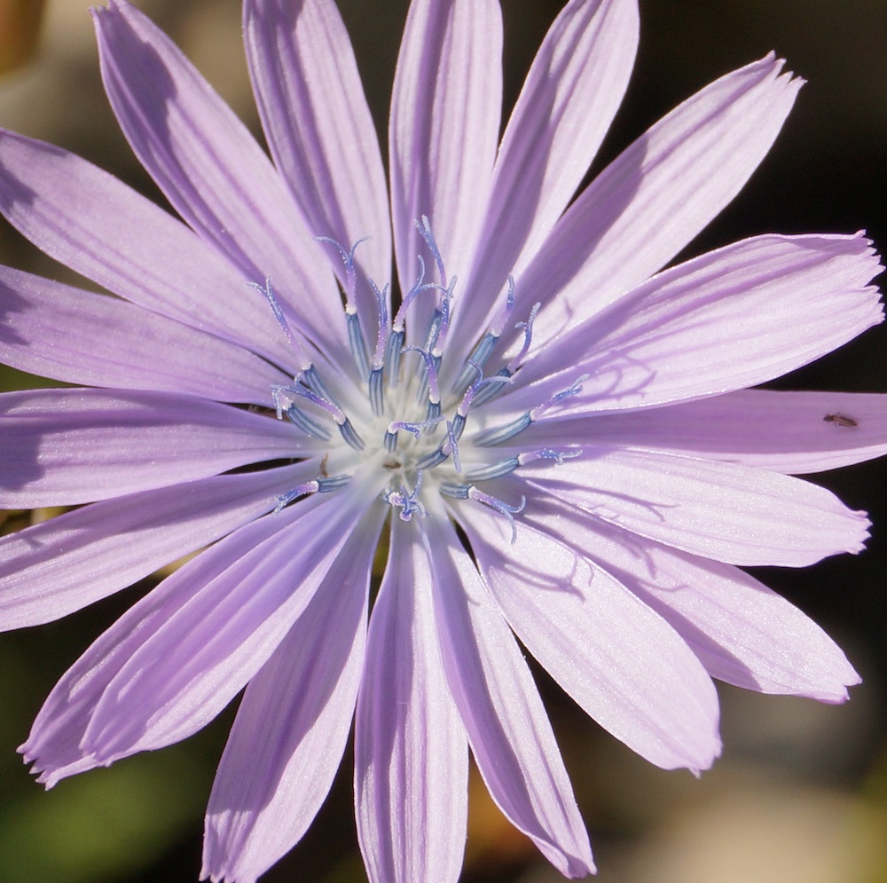 blaue Blume klein