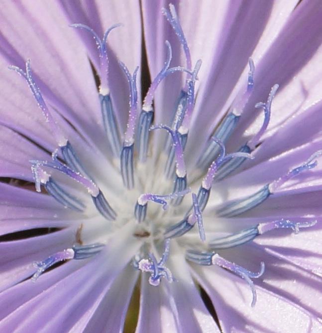 blaue Blume sehr Zentrum