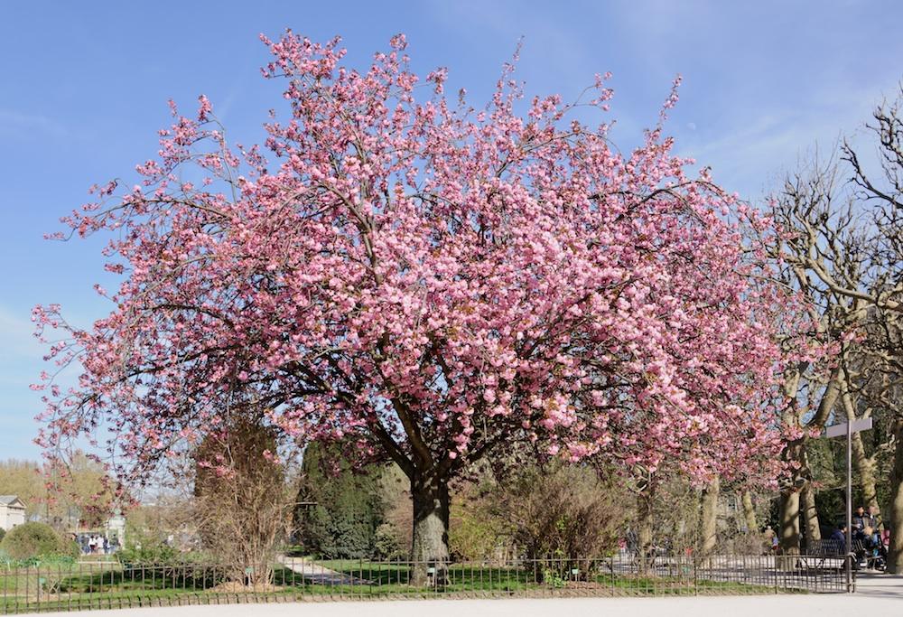Prunus serrulata gr. Sato-zakura Kanzan - Jardin des Plantes, Paris, France
