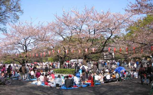 Uenokirschblüte